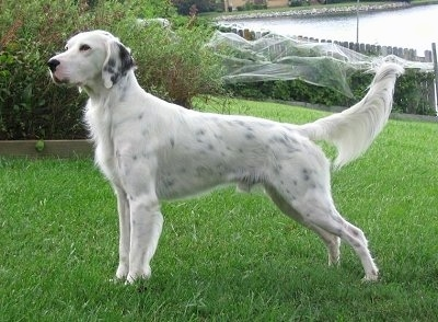 Hall's General Jackson the white with black ticked English Setter is standing in a field, in front of a bush.