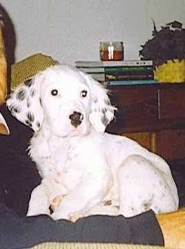 Hall's General Jackson the white with black ticked English Setter puppy is laying on top of a person on a couch