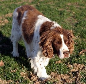 Essex Marshall the red and white ticked English Springer Spaniel is walking through a field with its head down