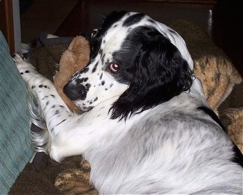 Close Up - Baxter Bear the black and white English Springer Spaniel is laying in a blanket and on a teddy bear