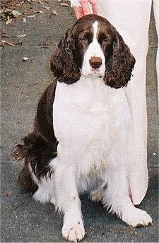 Belle the English Springer Spaniel is sitting outside and standing next to a person in white