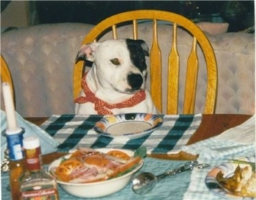 A white with black English Staffordshire Bull Terrier is sitting in a wooden chair at a table. There is an empty plate in front of it with lots of other food on the table