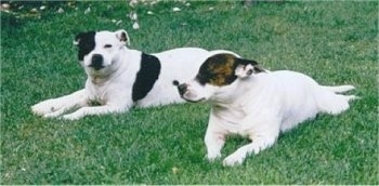 The front left side of two English Staffordshire Bull Terriers that are laying across a field. One dog is white with black and the other is white with brown brindle around its eye.