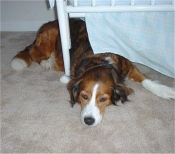 Maggie the tan, black and white English Shepherd is laying down under a white bed frame.