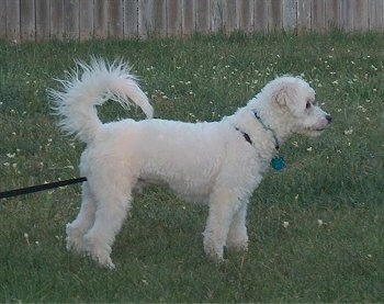 Kodiak the white Eskapoo puppy is standing in a field and there is a wooden fence behind it