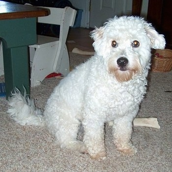 Kodiak the curly white Eskapoo is sitting in front of a wooden table and next to a bone.