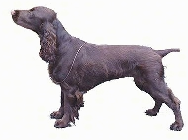 Tilly, aka Bramast Glenmorhan, the Field Spaniel bred and owned Michele Elliott