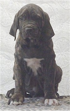 A black brindle with white Fila Brasileiro puppy is sitting on a leopard print sheet