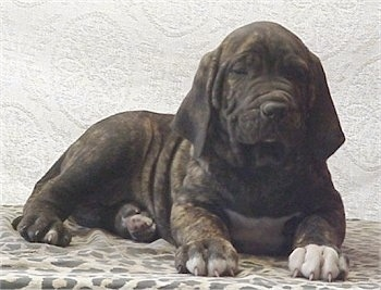 A wrinkled black brindle Fila Brasileiro puppy is laying against a backdrop. He has white on his chest. One of his front paws has a couple of inches of white on the toes and the other paw has a half inch of white on it.