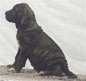 Left Profile - A black brindle with white Fila Brasileiro puppy is sitting in front of a backdrop