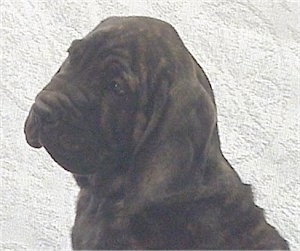 Close Up head shot - A black brindle Fila Brasileiro puppy is sitting with its head tilted to the left