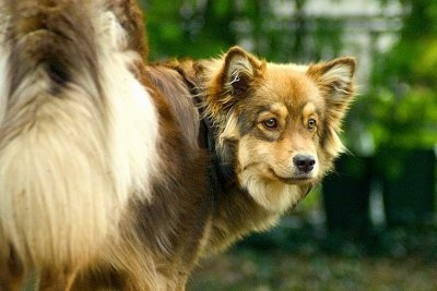 Close Up - A brown and tan Finnish Lapphund dog is standing outside. Its back is facing the camera and it is looking back.