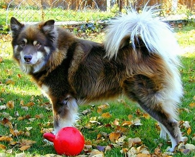 A fluffy brown, black and white Finnish Lapphund dog is standing in a yard with a red ball that has a handle next to him