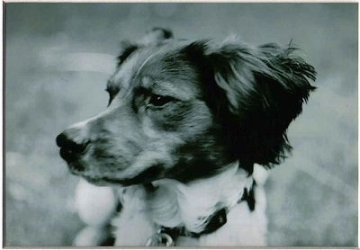 Close Up head shot - A black and white photo of a French Brittany Spaniel looking to the left.