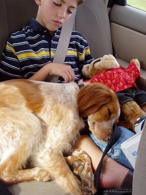 A tan and white ticked French Brittany Spaniel is sleeping on the lap of a boy while sitting in the backseat of a vehicle.
