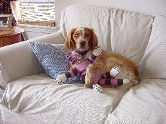 A tan with white French Brittany Spaniel is laying on a couch against a striped blue and white pillow with its paws over top of a plush pink and black cat