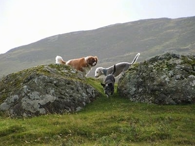A brown and white Cavalier King Charles Spaniel, a grey dog and a white with grey Bedlington Terrier are walking in between two large rocks in a field with a mountain in the distance.
