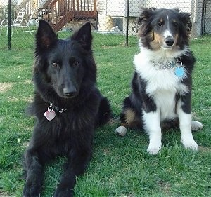 A large black shepherd dog is laying next to a black, tan and white tri-colored Shetland Sheepdog that is sitting in a field. There is a chain link fence and a house behind them