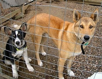A black with white East Siberian Laika puppy is sitting in an outside pen next to a tan West Siberian Laika dog