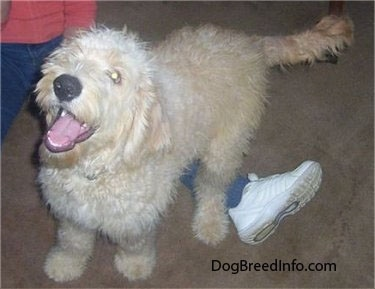 A Goldendoodle puppy is standing over the leg of a person. Its mouth is open and it looks like it has a big smile
