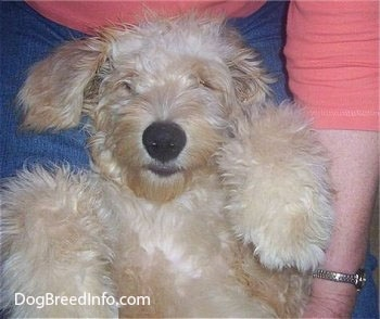 Close Up - A Goldendoodle puppy is laying on its back belly-up in the lap of a person with a muppet looking face.