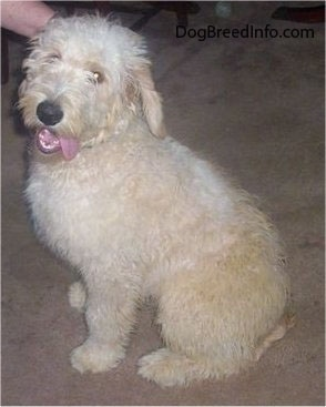 A Goldendoodle puppy is sitting on a tan carpet. Its mouth is open and tongue is out to one side. There is a person petting it