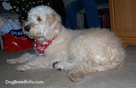 Bailey the Goldendoodle at 6 months old after his first haircut