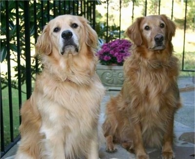 Golden Retrievers - Hunter (left), Max (Right)