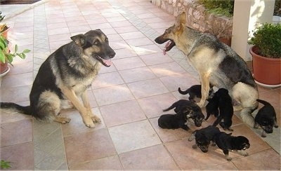 A German Shepherd Family