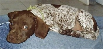 Cali, German Shorthaired Pointer puppy at 8 weeks