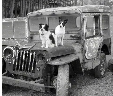 A black and white photo of two small dogs, a Chin/Cavalier King Charles Spaniel/Pekingnese mix and a Rat Terrier/Mountain Feist mix sitting on the hood of an old broken down jeep