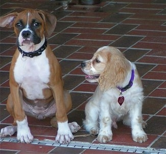 Kooba the Boxer as a puppy and Freckles the Cocker Spaniel as a puppy sitting on a brick porch