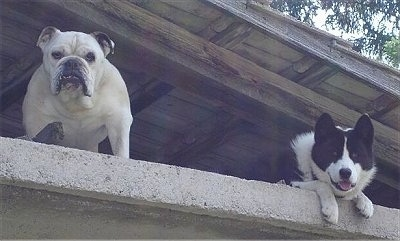 A white English Bulldog is standing up high looking down from a porch next to a laying black with white Karelian Bear Dog