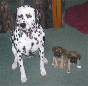 A large Dalmatian dog is sitting next to two tiny brown and black with white Jack Russell/Pekingese mix puppies on a green carpet.