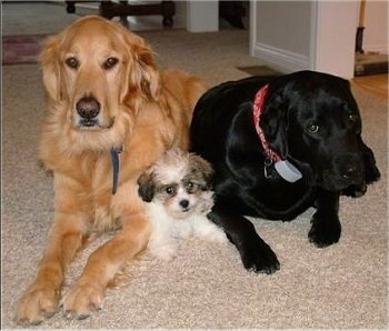 A small white with tan and black Shichon puppy is laying in between a Golden Retriever and a black Labrador Retriever in a house