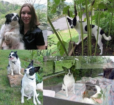 Top Left - A white and black Chin/Cavalier King Charles Spaniel/Pomeranian mix is in the arm of a lady in a black shirt. They are outside in front of a road. Top Right - A white with black Rat Terrier/Mountain Fiest mix is standing in a flower bed and looking back. Bottom Left - A white and black Chin/Cavalier King Charles Spaniel/Pomeranian mix is sitting on a rock with its mouth open and tongue out. Next to it is a white with black Rat Terrier/Mountain Fiest mix sitting in a field with its head tilted to the right. Bottom Right - A picture of a white and black Chin/Cavalier King Charles Spaniel/Pomeranian mix laying in front of a white with black Rat Terrier/Mountain Fiest mix sitting behind it in a truck bed. This photo is through the window.
