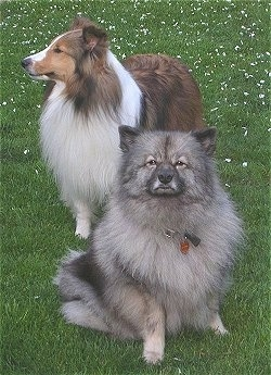 A gray and black Keeshond is sitting in front of a standing  black, tan and white Sheltie outside in grass