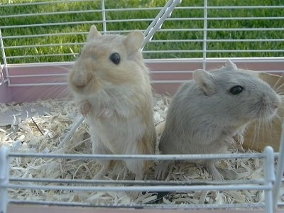 Two Gerbils are standing in a cage looking out of an open door outside in grass. One of the gerbils is tan and is looking forward and the other one is gray and is looking to the right.