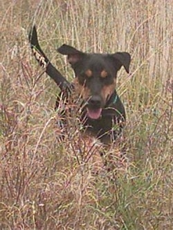Action shot - A black with tan German Hunting Terrier is running through tall brown grass. Its mouth is open and tongue is out