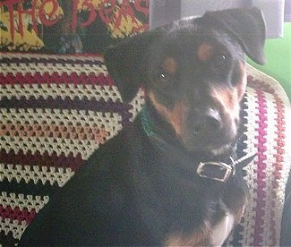 Close Up - A black with tan Jagdterrier is sitting on a couch with a knitted afghan blanket hanging over the back.