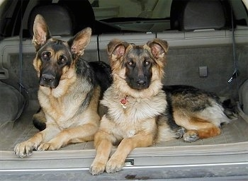 Two black and tan German Shepherds are sitting in the trunk of a vehicle. One dog has large perk ears and the other dog's ears are flopped over