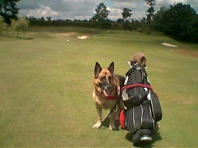 A black and tan German Shepherd is standing next to a golf bag out on a golf course