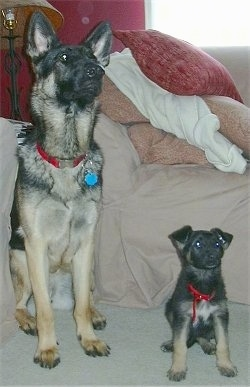 Libby and Lucy, the German Shepherds