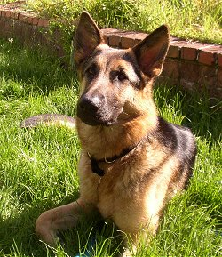 A black and tan German Shepherd is laying in grass in front of a small brick wall