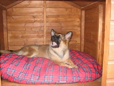 A tan with black German Shepherd puppy is laying on a red and blue pillow looking up inside of a cedar dog house.