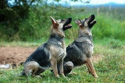German Shepherd Dog Information and Pictures, German Shepherd Dogs