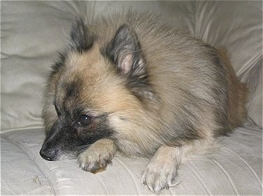 A tan, white and black German Standard Spitz is laying on a couch