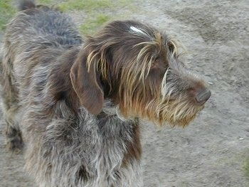 A brown and grey with white German Wirehaired Pointer is standing in patchy grass looking over to the right