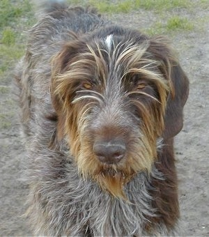 A brown and grey with white German Wirehaired Pointer is standing in patchy grass