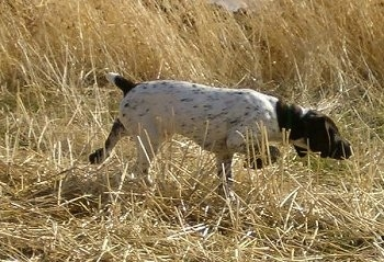 A white with brown German Shorthaired Pointer puppy is standing in tall brown grass and pointing